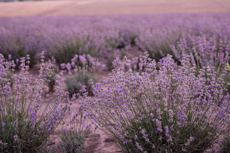 Infinite lavender fields, with purple and violet flowers, provence