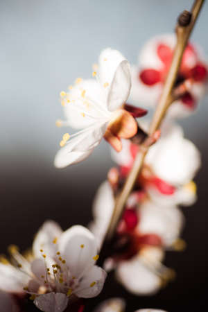 Close up of branch with pink apricot tree flowers in full bloom with blurred background in a garden in a sunny spring day, beautiful outdoor floral background