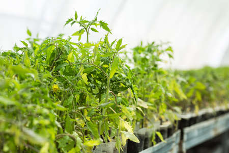 Seedling tomato in plastic tray for sprout in greenhouse with selective focus and copyspace