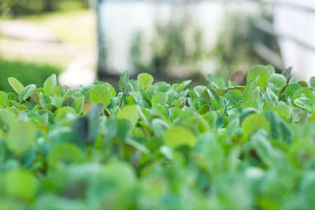 Young sprouts of cabbage seedlings in the garden. Greenhouse plants of growing cabbage sprouts with selective focus and copyspace Stock fotó