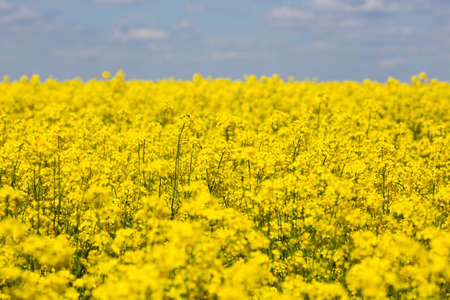 Colorful yellow spring fileds of canola, rapeseed or rape at sunny day