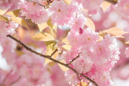 Closeup macro beautiful cherry blossom sakura in spring time