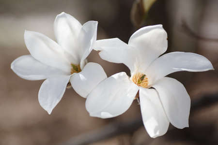 Closeup of blooming white magnolia flowers on green background on sunny spring day