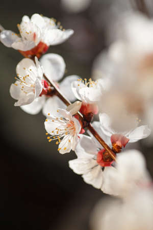 Macro shot of branch with pink apricot tree flowers in full bloom with blurred background in spring garden on sunny day, beautiful outdoor floral background