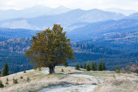 One tree at the top of the mountain. A lonely autumn tree with yeallow leaves in Carpathian mountains, Ukraine Stock fotó