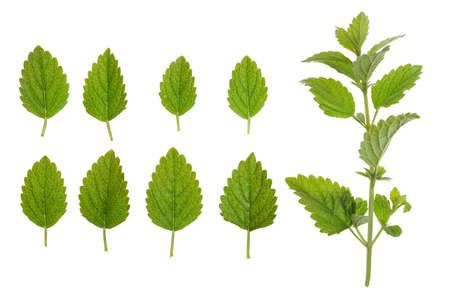 Mint - green leaves and stem, on a white background.