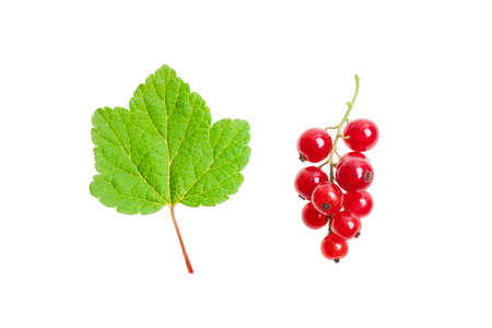 redcurrant: Redcurrant and green leaf.
