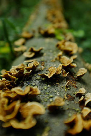 Inedible mushrooms on a tree trunk. light yellow mushrooms. Background and texture Stock Photo