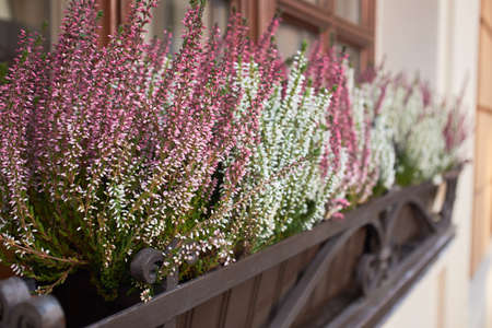 Heather flowers in a box close-up. Pale pink and white small flowers