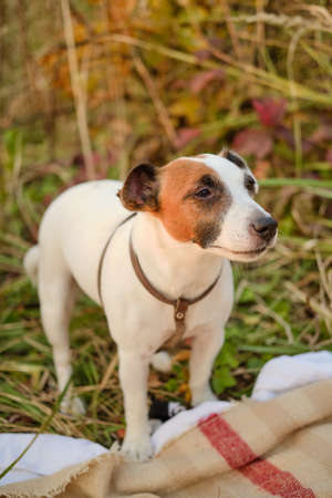 A white dog Jack Russell Terrier is standing on the grass, next to a picnic blanket