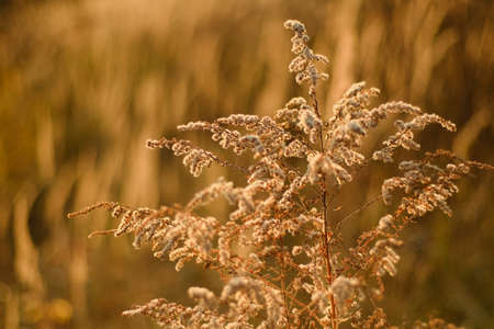 Fluffy large plant with white fluffs on a blurry background of autumn nature. Selective focus and bokeh. Soft warm light. Soft lighting. Autumn Stok Fotoğraf