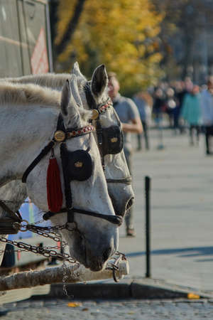 The heads of two white horses in blinders close-up. In the background is a city street and people. These horses ride tourists all day on the streets of the city. Stock fotó
