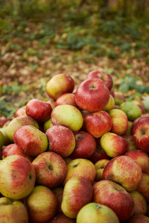 A lot of red apples close-up on the grass. harvesting