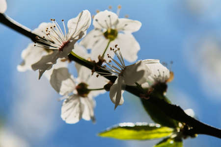 Branches of blossoming white cherry against the backdrop of a soft blue sky. Beautiful floral image of spring nature. 版權商用圖片