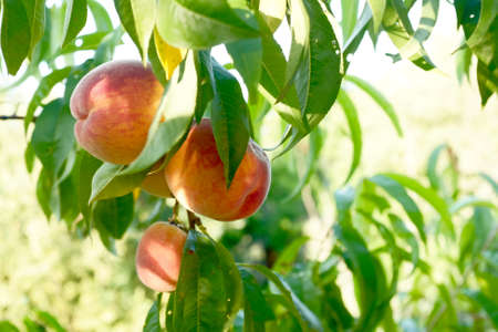 beautiful ripe peaches hang on a branch against the sky. blur and selective focus