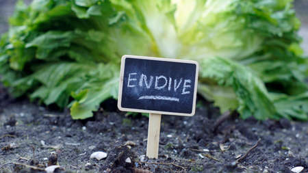 kitchen garden: Endive written on a chalkboard in a kitchen garden, in the background aa endive is growing