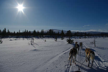 huskies: Dogsledding in scandinavia