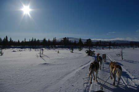 laponie: Tra�neau � chiens en Scandinavie Banque d'images
