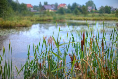 Reed Mace growing at the edge of a small pond. Stok Fotoğraf
