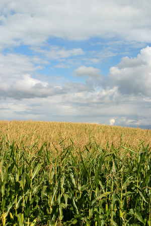 Agriculture, corn field with cloudy sky Stock Photo