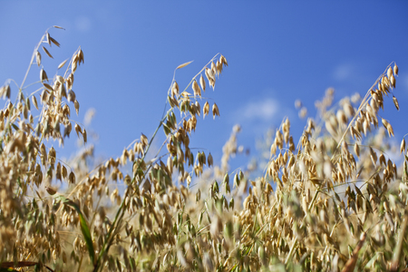 Close up shot of a field of wild oats and grains