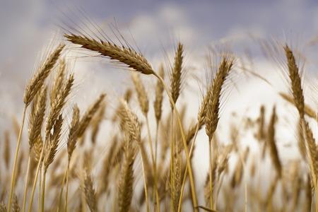 Detail of golden wheat.