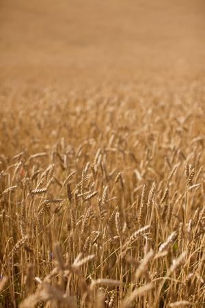 Wheat field, focus on the foreground