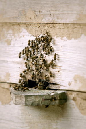 Bees entering and leaving the beehive