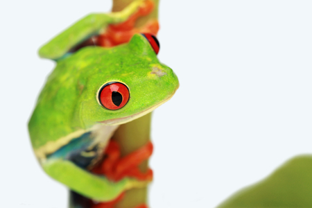 Red-eyed tree frog hanging off a branch Stock Photo