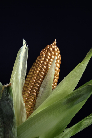 Strange looking corn, GMO foods concept.