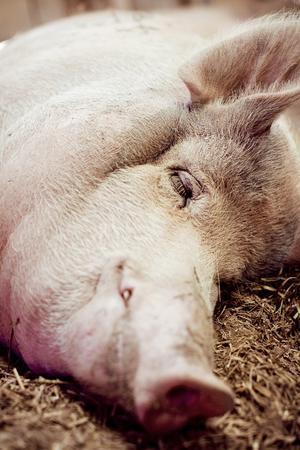 Pig taking a nap.
