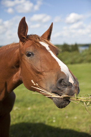 Horse eating some hay and grass in a field. Reklamní fotografie