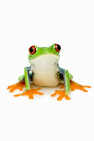 The Red-eyed Tree Frog (Agalychnis callidryas)   Stock Photo
