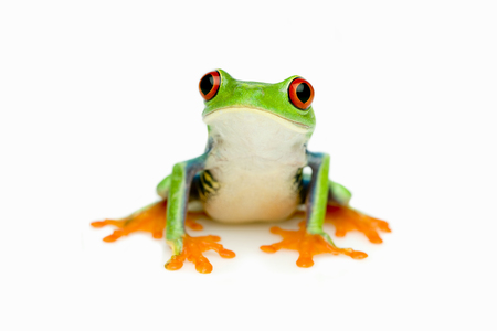 The Red-eyed Tree Frog (Agalychnis callidryas)   Stock Photo