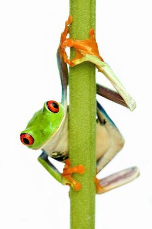 The Red-Eyed Tree frog (Agalychnis callidryas)