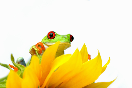 Red-Eyed Tree Frog atop a yellow flower.