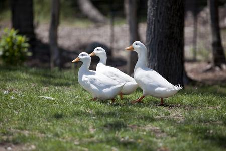 Three ducks taking a stroll. 版權商用圖片