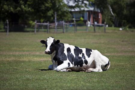 Cow Resting on a Farm
