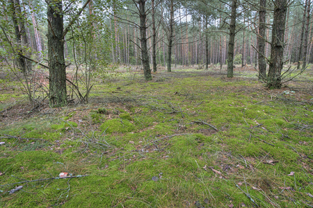 Pine tree forest in Northern Europe