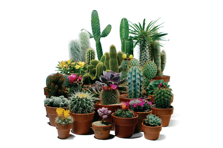 a large froup of succulent plants (cacti). Various cactus, I also tried my best to include the scientific name in the keywords. Stock Photo