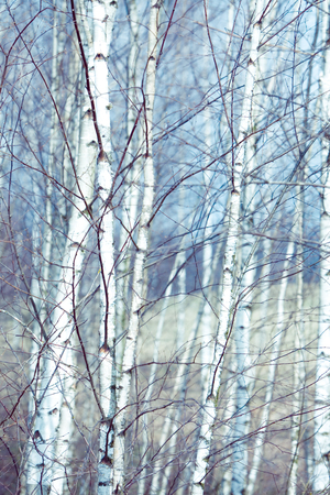 Young birch trees in the meadow. 스톡 콘텐츠