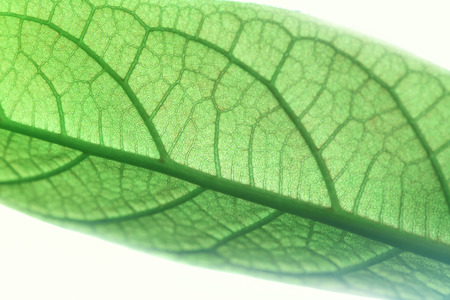 Detail of a Avocado leaf.