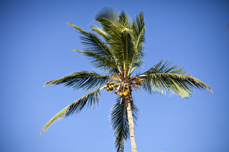 Coconut Tree in the wind.