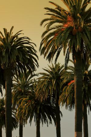 Palm trees at dusk.