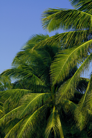 Palm trees in central America.
