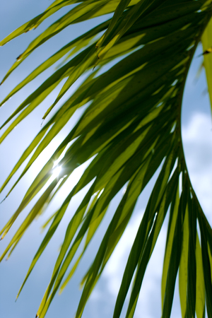 Detail of a palm tree with sun rays.