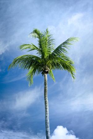 Single palm tree on blue sky