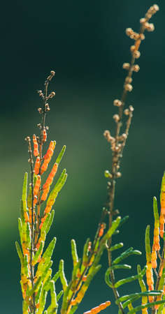 Salicornia growing in salt marshes and beach Stock Photo