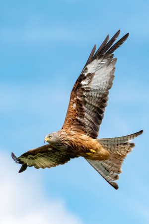 A Red Kite soars above the feeding station at West Wales