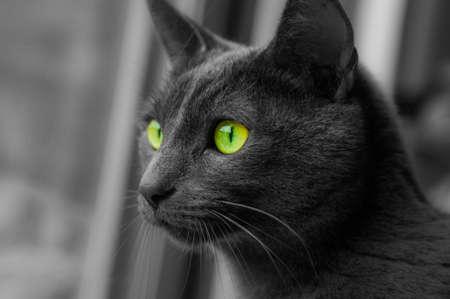 russian blue: Portrait of elegant Russian Blue Cat